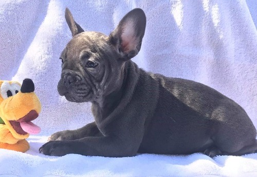 Buy Amazing Blue French Bulldog Puppies Online