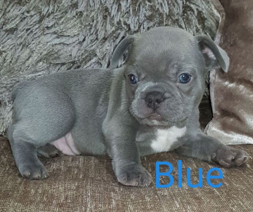French Bulldog Puppies Available To The Right Loving Family