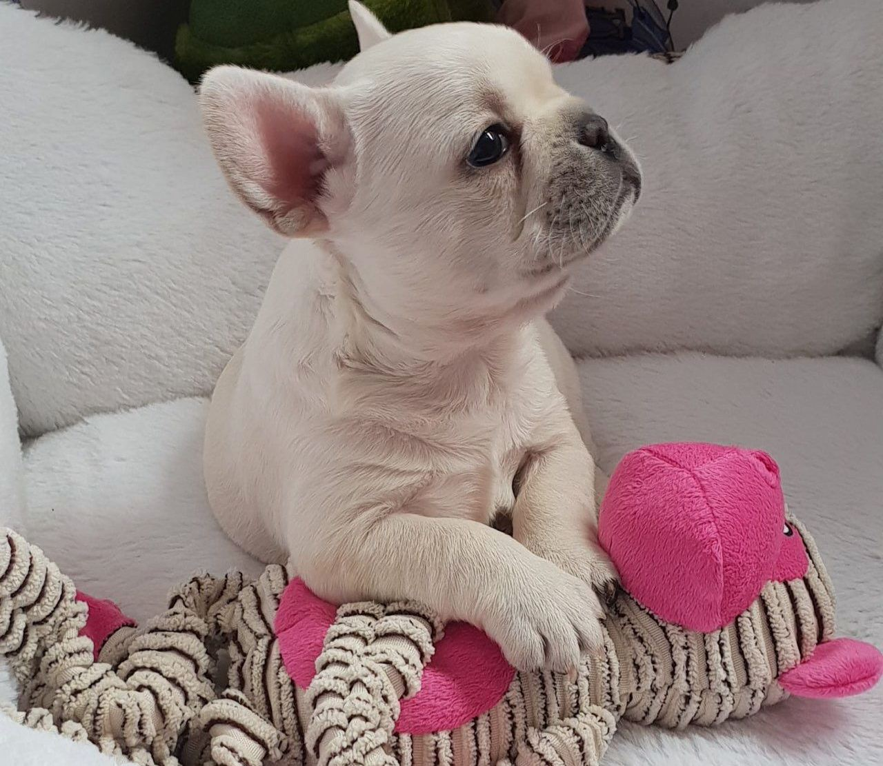 Buy French Bulldog Puppies Online For Affordable Price