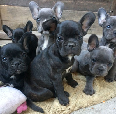 Trained Akc French Bulldog Puppies