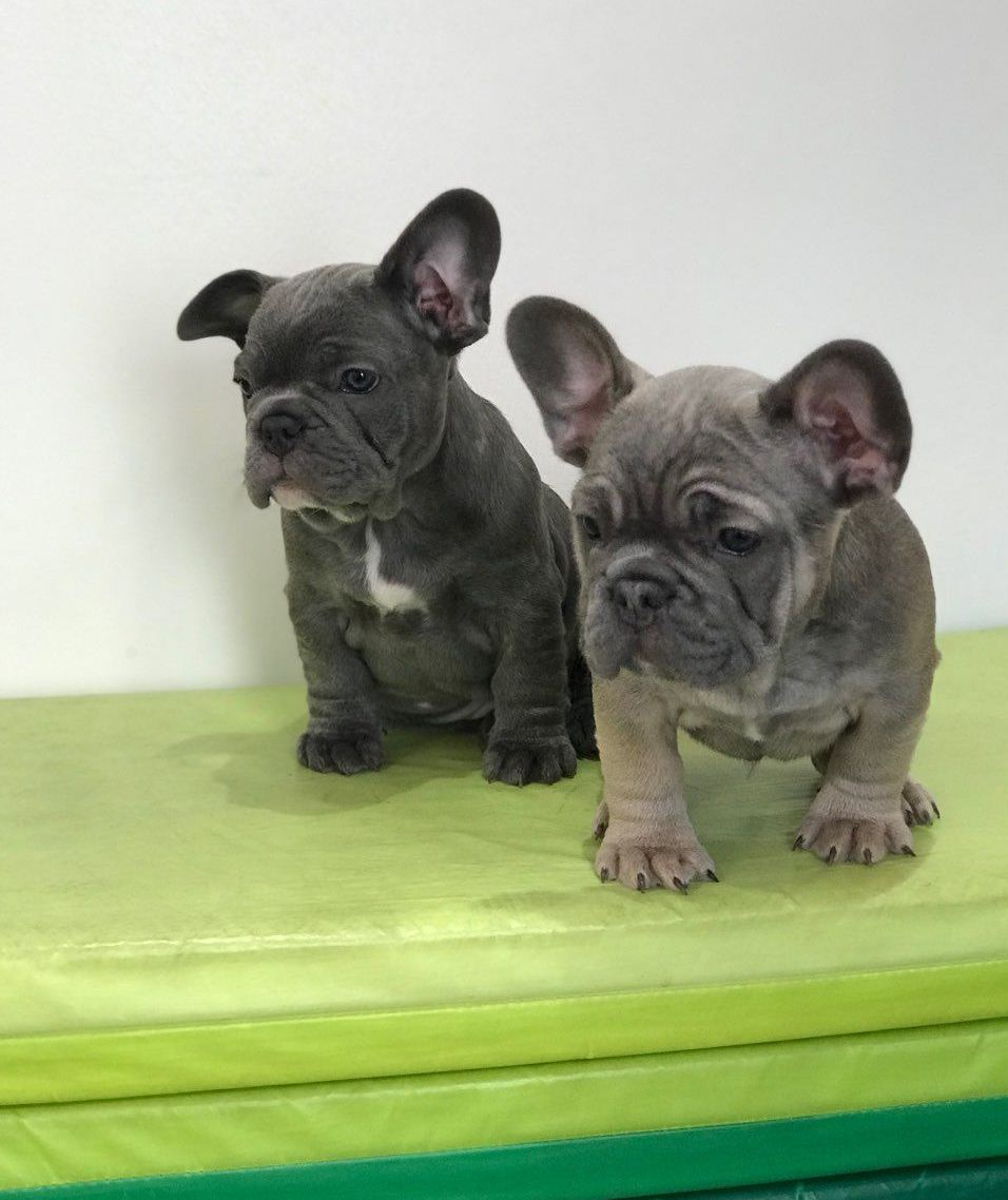 Buy Top Quality Blue Lilac French Bulldogs Puppies