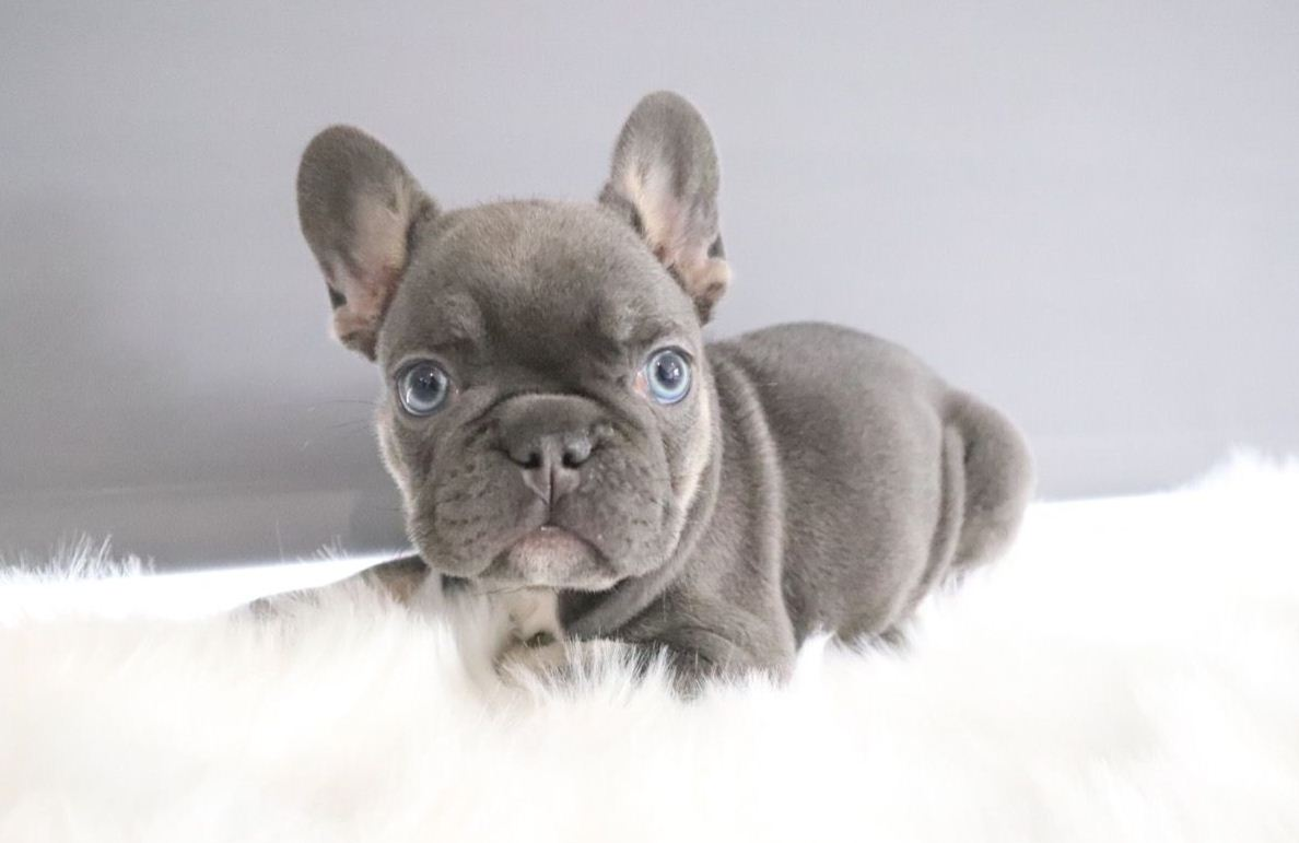 Buy Solid Lilac Carrying Cream French Bulldog Puppies